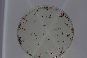 Pós-larva de surubim